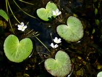 Floating Water Lilies in a Pond