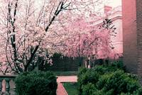 Meridian Cherry Blossoms