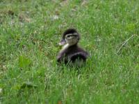 Baby wood ducks