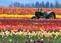 Tulip farm April 2011 021