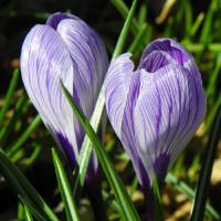 Spring Crocus Flowers Art Prints & Posters by Capturing Nature