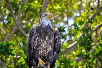 Bald Eagle 2nd Year 1.3 - Florida - 2017.12.27