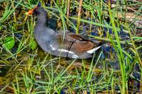Common Gallinule 1 - Florida - 2017.12.30