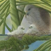 Ridgway's Hawk Art Prints & Posters by Rebecca Richman
