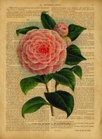 old book page botanica-rose