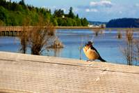 nisqually swallow  large