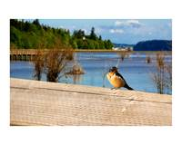nisqually swallow