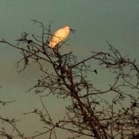 Egret by Richard Thomas