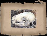 bleached raccoon skull with border
