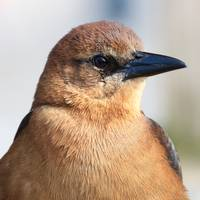 Boat-Tailed Grackle (Quiscalus major) - Female