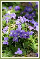 Sunshine-Dappled Violets