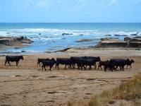 cows look to surf