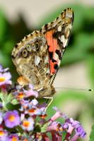 Profile of a Painted Lady