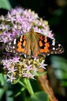 Painted Lady of Leisure