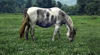 Horse Grazing in a Field of Clover