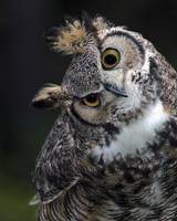 Owl Looking Askance