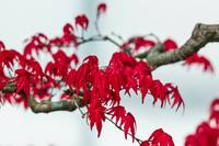 Japanese Red Maplef