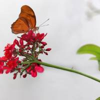 Julia Butterfly Elegance by Karen Adams