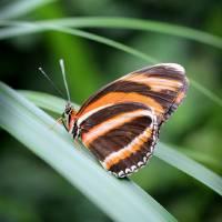 Banded Orange Butterfly 2017 Vertical by Karen Adams