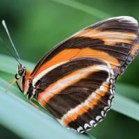 Banded Orange Dryadula Butterfly by Karen Adams