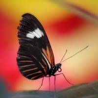 Doris Longwing Butterfly Red by Karen Adams