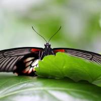Great Yellow Mormon Butterfly Hiding by Karen Adams