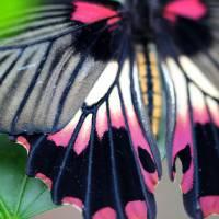 Great Yellow Mormon Butterfly Macro Bright by Karen Adams
