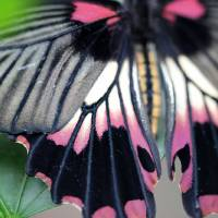 Great Yellow Mormon Butterfly Macro by Karen Adams