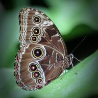 Blue Morpho Butterfly Ventral View by Karen Adams