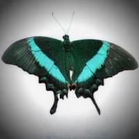 Emerald Swallowtail Butterfly 2017  by Karen Adams