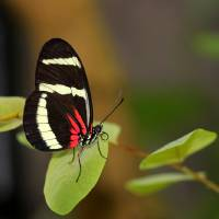 Hewitsoni Longwing Butterfly 2017 by Karen Adams