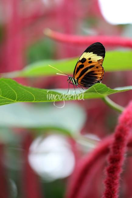 Heliconius Numata Longwing Butterfly Vertical