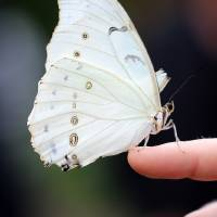 White Morpho Butterfly Balancing by Karen Adams