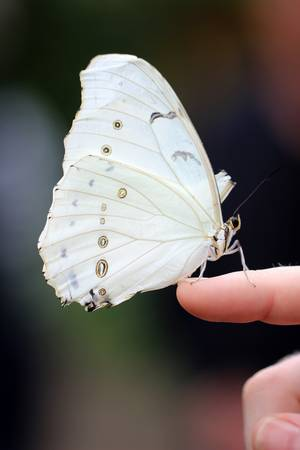 White Morpho Butterfly Balancing