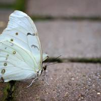 White Morpho Butterfly on the Path by Karen Adams