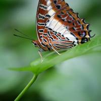 White-barred Charaxes Butterfly Vertical by Karen Adams