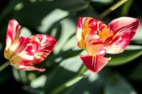 Two Rembrandt Tulips