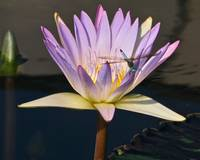 Waterlily and Dragonfly