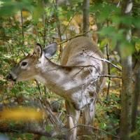 Doe A Deer by Karen Adams
