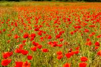 Panoramic view across fields of poppies