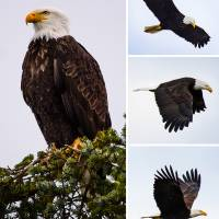 EagleComposite Art Prints & Posters by Pam Headridge