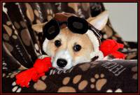 Red Baron Corgi - (with border)
