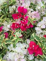 Variegated Bougainvillea