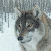 Wolf in Aspens Art Prints & Posters by Carla Kurt