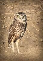 Burrowing Owl Beauty by Carol Groenen