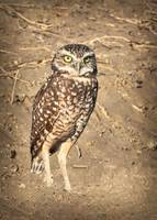 Burrowing Owl Beauty