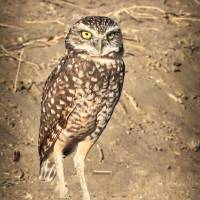 Burrowing Owl Beauty Art Prints & Posters by Carol Groenen