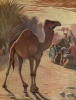 The Wild Beasts of the World - camel 1909 resized
