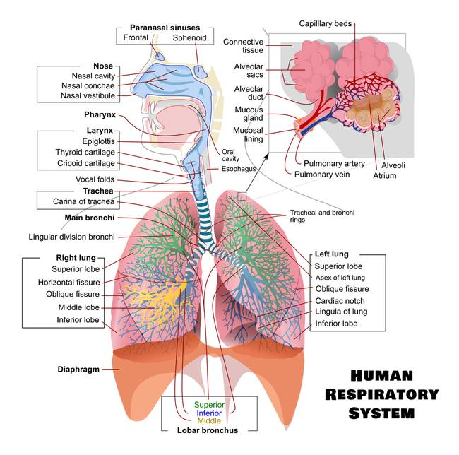respiratory system diagram bronchi images