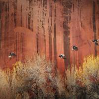 sandstone wall at capitol reef with magpies by r christopher vest
